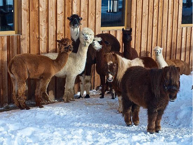 Livigno In Family WALK WITH LAMAS AND ALPACAS