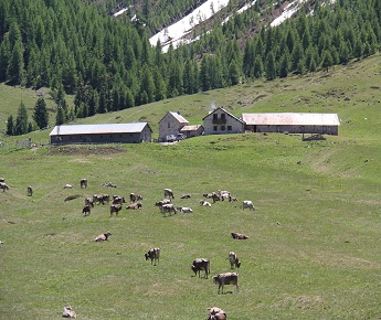Livigno In Family VISIT TO MALGA VAGO AND MILKING  AND VISIT TO THE LITTLE CALVES' FARM